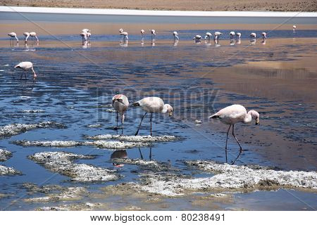 Flamingos in lagoon of Salar de Uyuni
