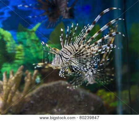 Fish-zebra (pterois Volitans)