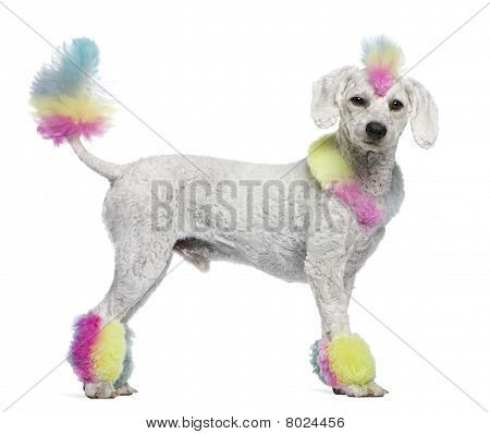 Poodle With Multi-colored Hair And Mohawk, 12 Months Old, Standing In Front Of White Background