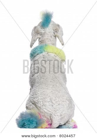 Rear View Of Poodle With Multi-colored Hair, 12 Months Old, Sitting In Front Of White Background