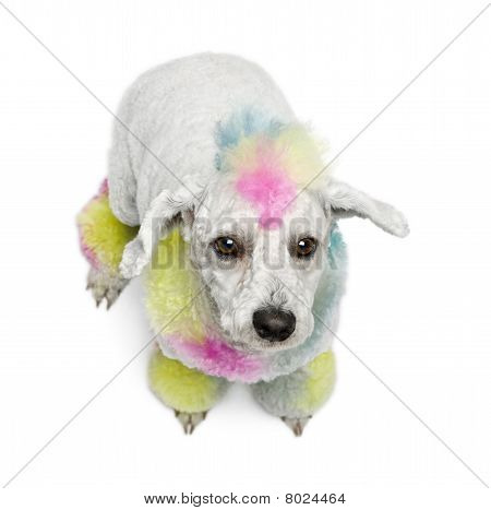 Poodle With Multi-colored Hair, 12 Months Old, Sitting In Front Of White Background