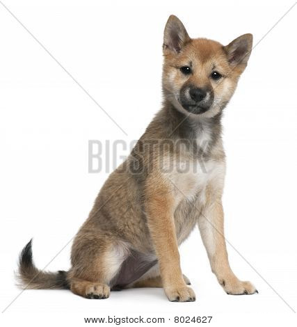 Shiba Inu Puppy, 5 Months Old, Sitting In Front Of White Background