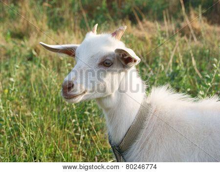 White Goat Smile
