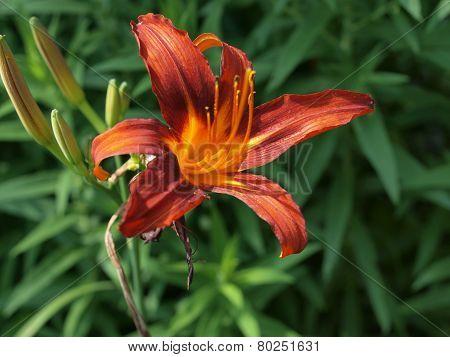 royal lily