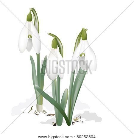 Snowdrops - Galanthus nivalis.