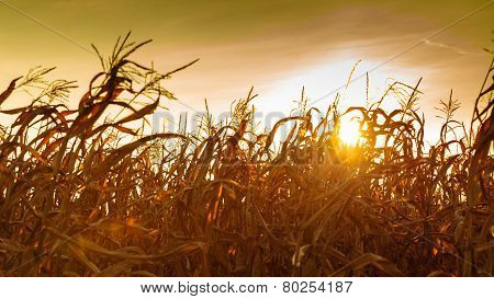 Corn Field At The Yellow Sunset