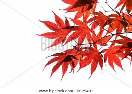 isolated red japanese maple