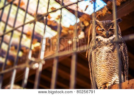 Poor Owl In Captivity