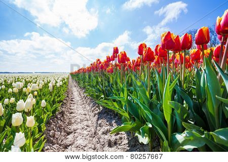 Close view from the ground of colorful tulips