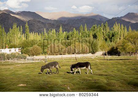 donkey at Shey palace Leh Ladakh ,India