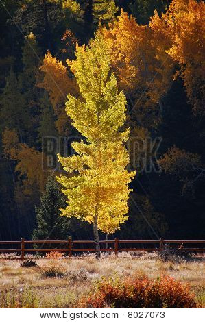 Aspen Tree in the Afternoon Sunlight
