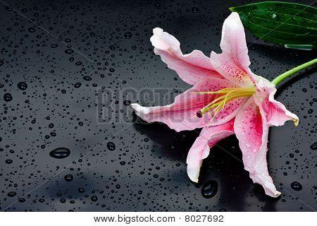 Pink Stargazer Lily (lilium Stargazer)