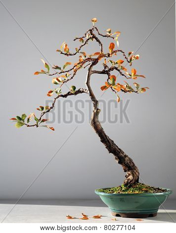 Autumn bonsai tree