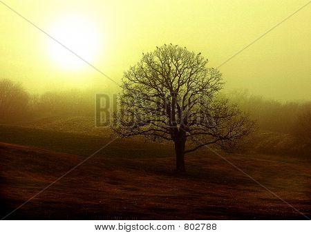 Early Morning Oak
