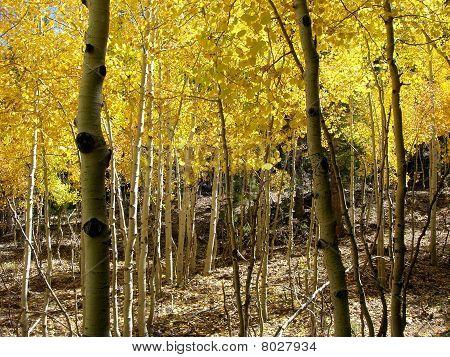 aspen gold maze