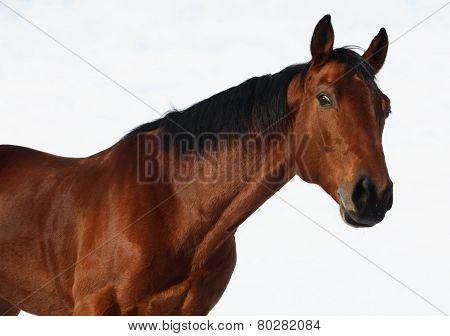 Bay sportive german stallion portrait