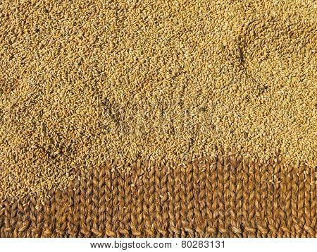 Brown rice drying  in the sun
