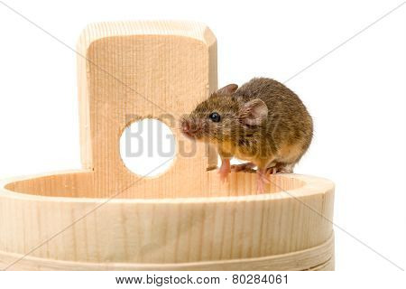 House Mouse (mus Musculus) On Tub