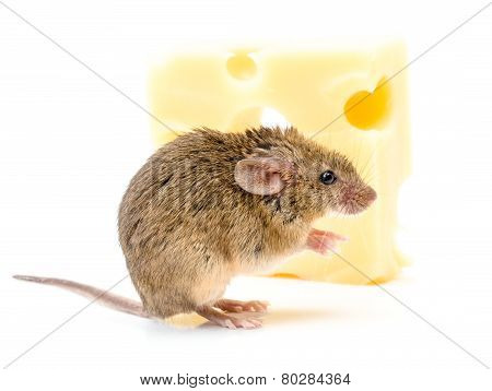 House Mouse (mus Musculus) Near Cheese