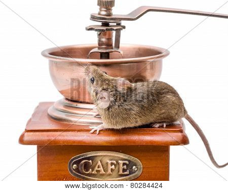 House Mouse (mus Musculus) On Coffee Grinder