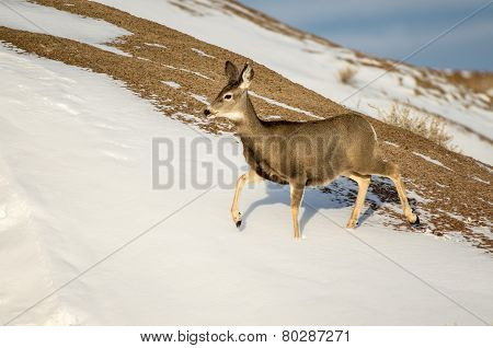Mule Deer Doe In The Snow In Badlands National Park