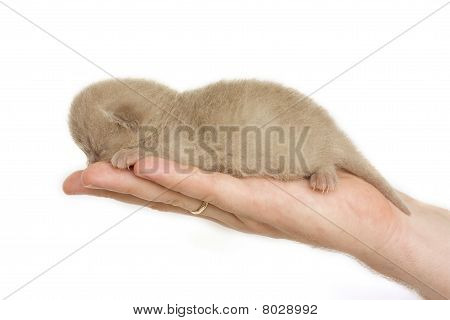 New-born kitten sleeping on men's palm