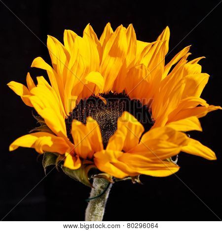 Small Decorative Garden Sunflower