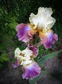 stock photo of purple iris  - Image of white and purple iris flowers - JPG
