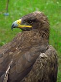picture of steppes  - half portrait of a watchful steppe eagle - JPG