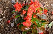 foto of begonias  - beautiful Begonia flower  - JPG