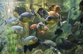 stock photo of piranha  - Tropical fishes in aquarium: few piranha in front also fish-parrot (latin name Scaridae) Astronotus Ocellatus knifefish (latin name Chitala) Tilapia buttuctikoferi