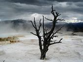 pic of mammoth  - Lonely dead tree in Mammoth Hot Springs  - JPG