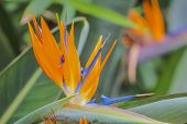 image of bird paradise  - Tropical flower bird of paradise strelitzia  - JPG