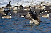 picture of snow goose  - Canada Goose Stretching Its Wings Standing in a Winter River - JPG