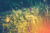 picture of monarch  - Summer Meadow with Monarch Butterfly Resting on Wildflower - JPG