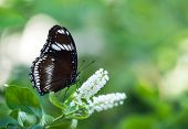 picture of moon-flower  - Great Eggfly butterfly  - JPG