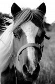 image of paint horse  - Black and white of a miniature paint horse that senses company - JPG