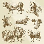 pic of cow head  - cows - JPG