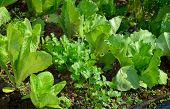 stock photo of iceberg  - Iceberg and roman lettuce coriander in vegetable garden. Organic green vegetables and herbs in organic garden. Summer.