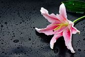picture of stargazer-lilies  - Beautiful pink stargazer lily  - JPG