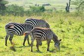 image of rhino  - Zebras are grazing in African savanna in front of white rhinos - JPG