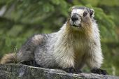 picture of groundhog  - Groundhog with green background in Alberta - JPG
