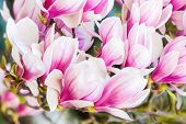 pic of magnolia  - close up beauty of spring flowers magnolia - JPG
