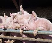 picture of farrow  - Young chattering pigs on the gate of their stable waiting for food