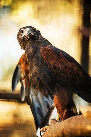image of hawk  - Harris - JPG