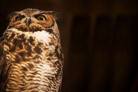 stock photo of owl eyes  - Tiger Owl with Right Side Copy Space - JPG