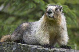 stock photo of groundhog  - Groundhog with green background in Alberta - JPG