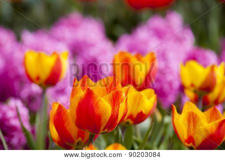 Beautiful Fresh And Vivid Yellow An Red Tulips