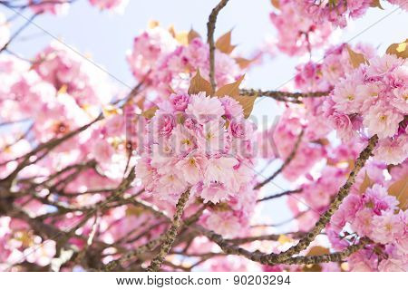 Pink Cherry Blossom Flowers .