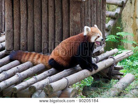 Raccoon In A Zoo In Wuxi, Jiangsu Province, China